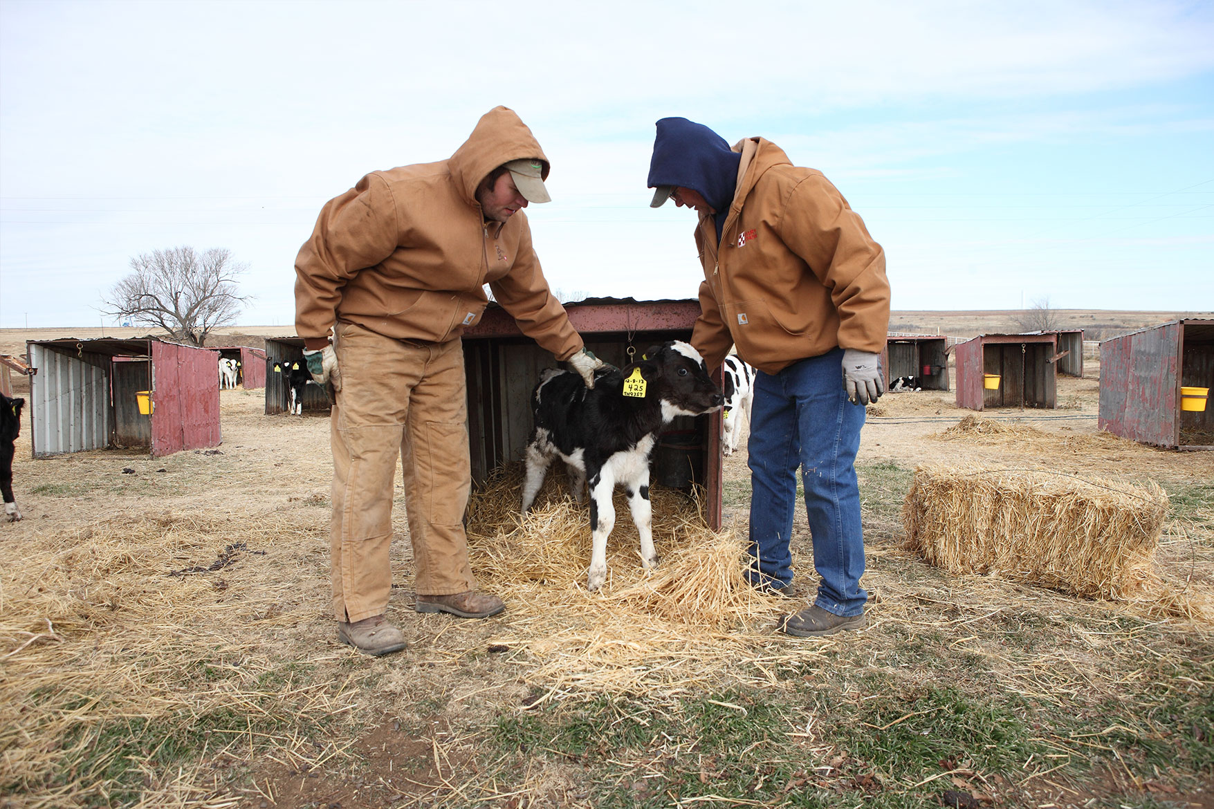 Checking on a calf at Scott Berend Dairy.