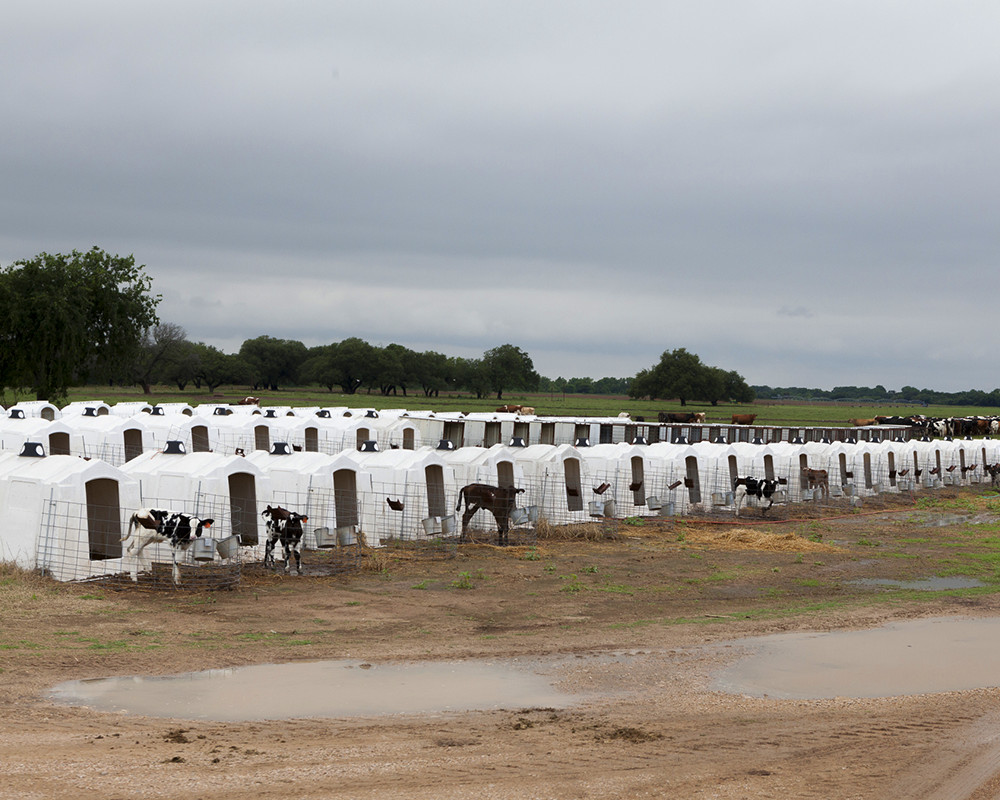 Calves who receive individual care at Bentwood Dairy.