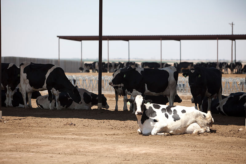 A Holstein cow enjoys the sun on a dry lot at A-Tex Dairy.