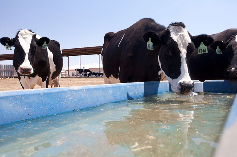 Cows enjoying a cool drink of water at A-Tex Dairy.
