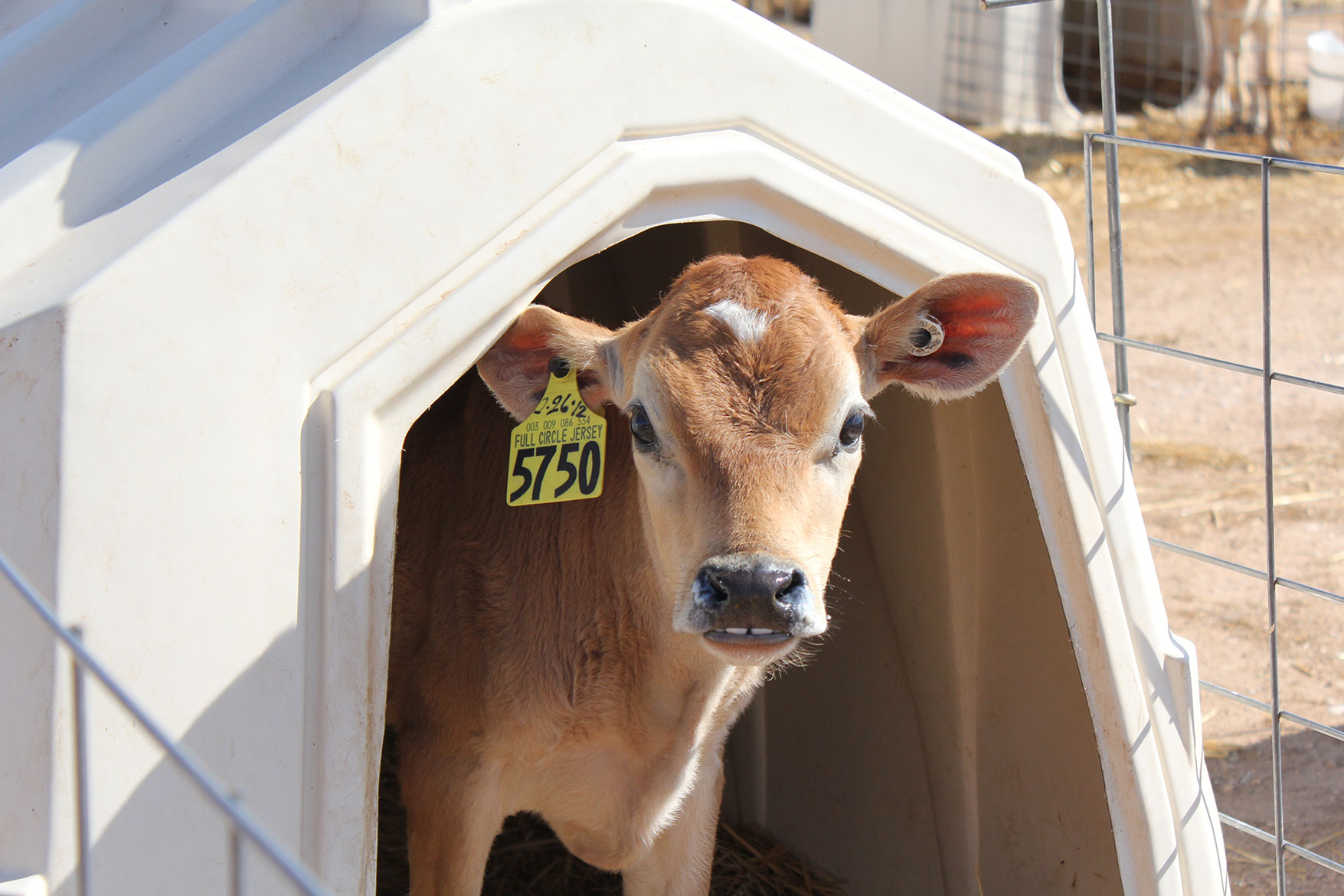 A jersey calf peeks out of her hutch.