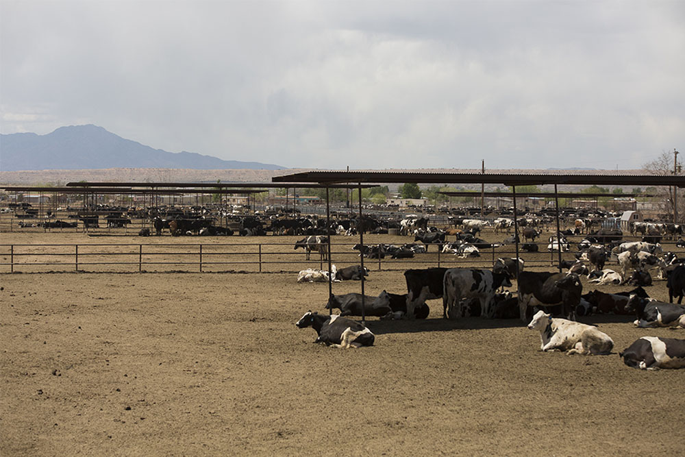 A dry lot dairy full of cows resting in New Mexico.
