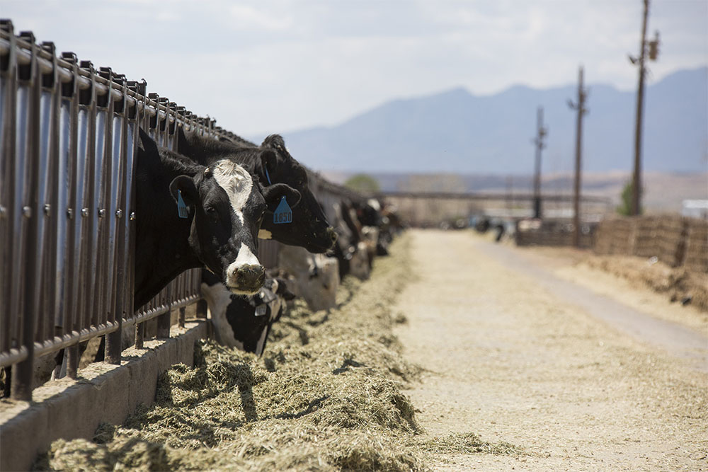 Holsteins enjoy their feed in front of the New Mexico mountains.