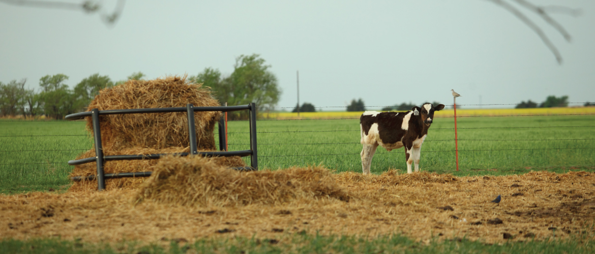 a Holstein cow standing on straw