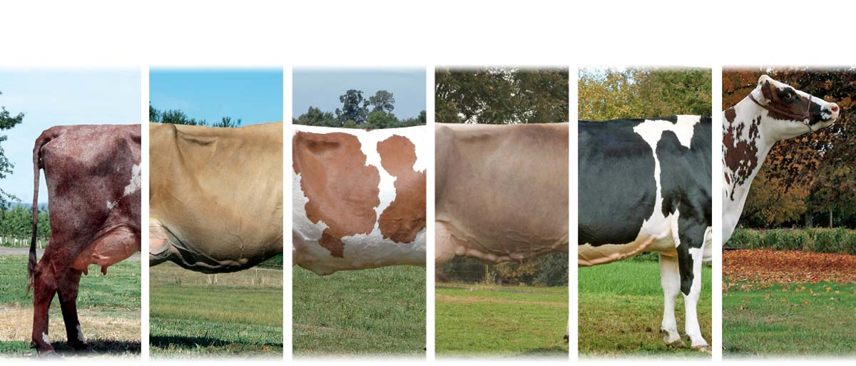 Name That Cow: The 6 Great Dairy Breeds