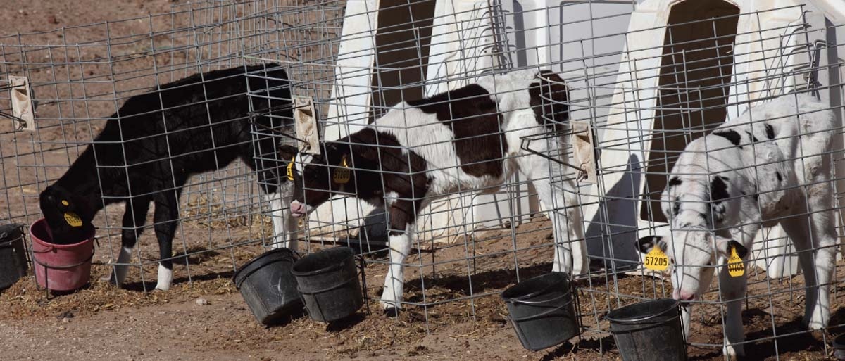 calves in hutches eating