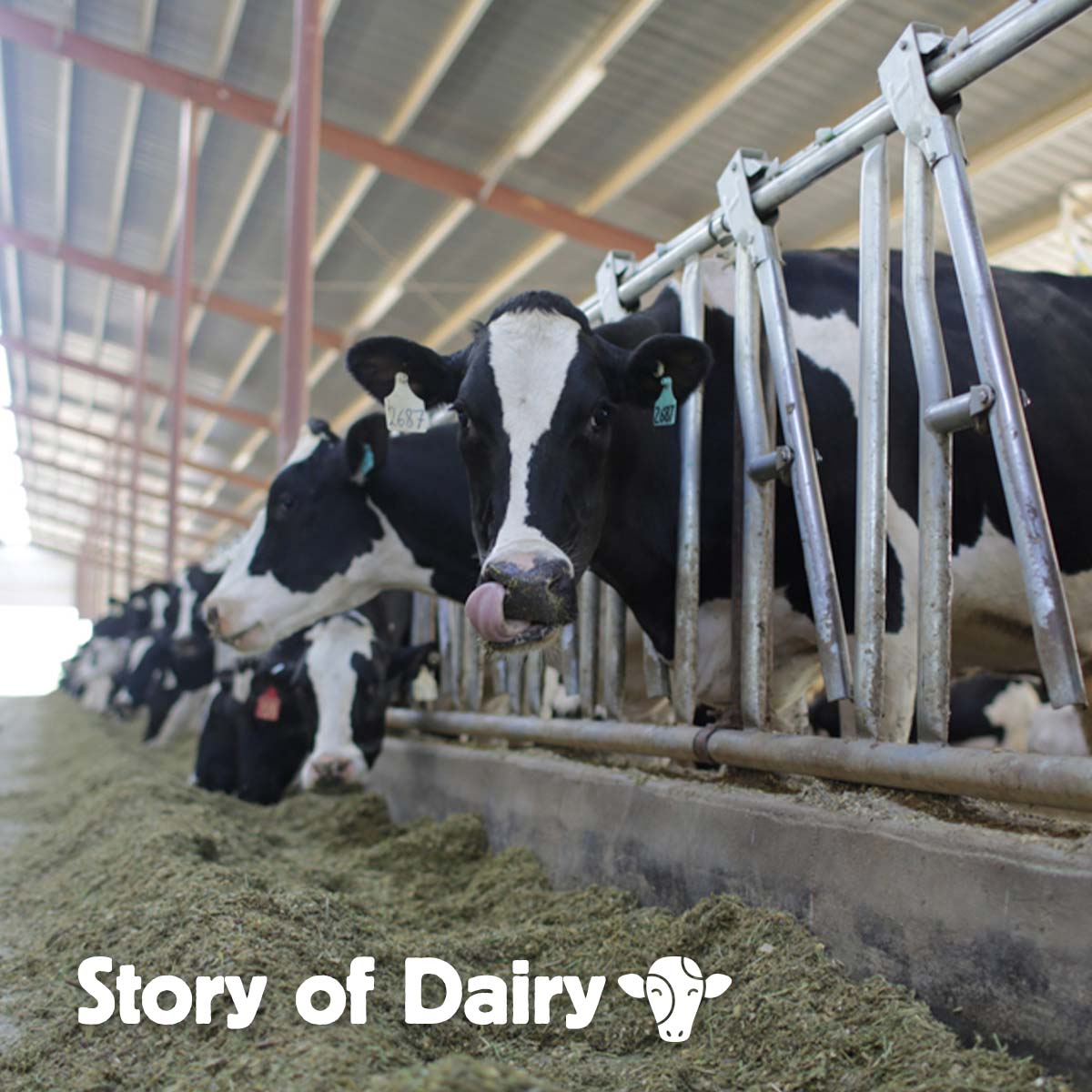 The Story of Dairy: Caring for Cows Who Make Your Milk
