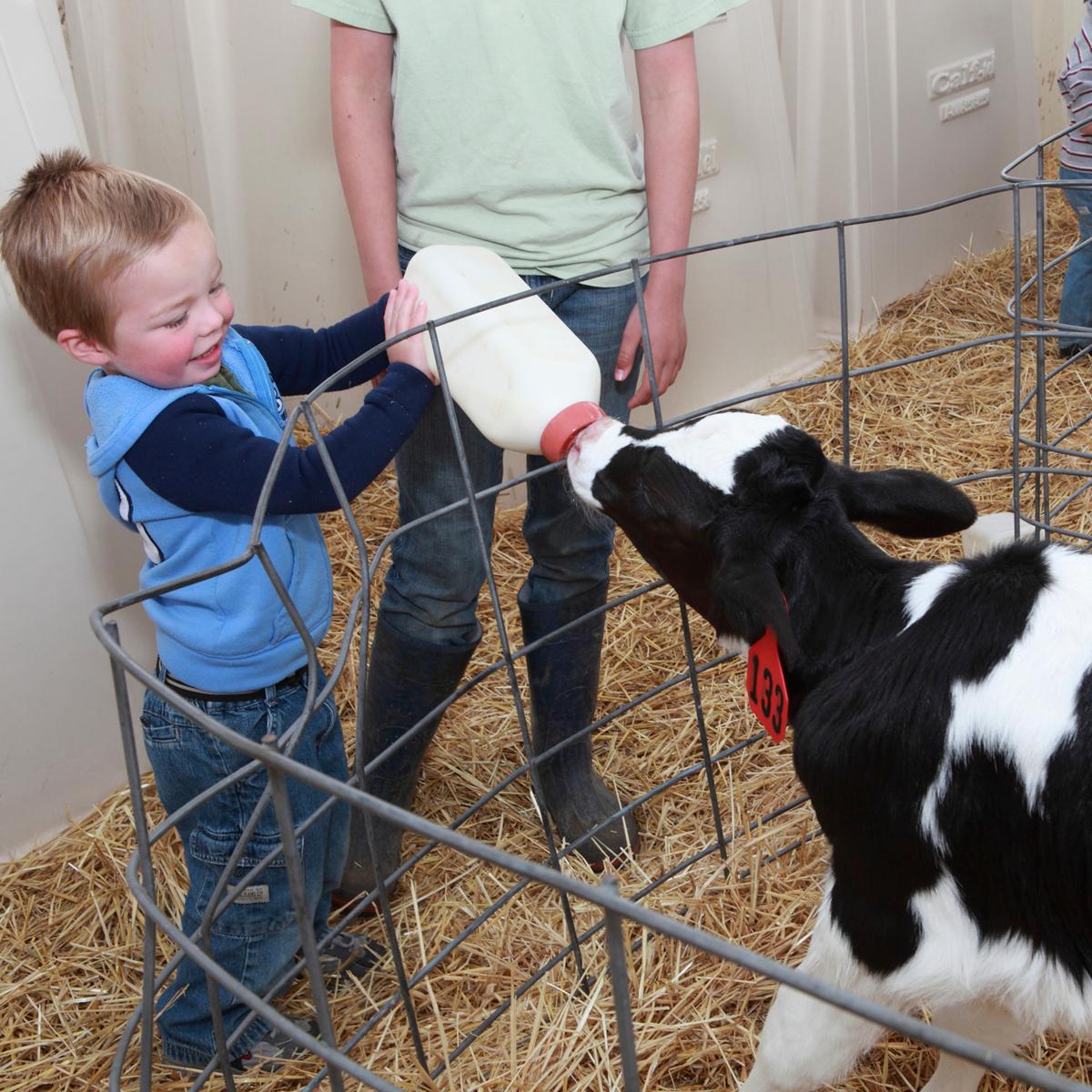 little boy bottle feeding a Holstein calf